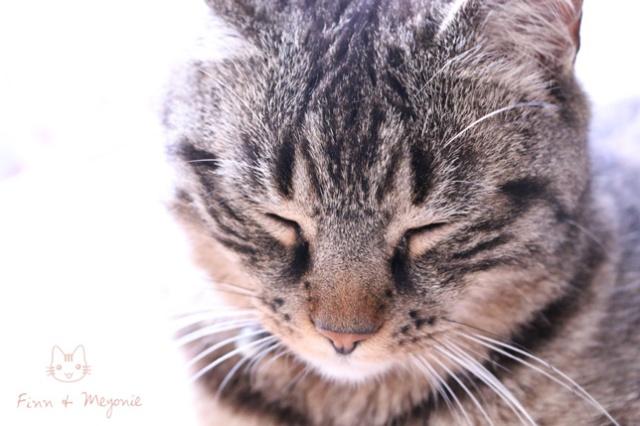 Finn-le-chat-meyonie-miaoubox